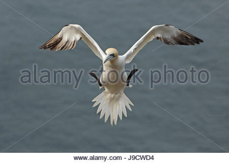 Northern Gannet in volo sopra le scogliere di Troup Testa, Scozia. Foto Stock
