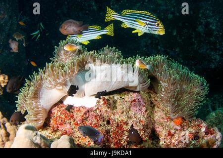 Oceano Indiano sweetlips orientali (Plectorhinchus vittatus) che aleggia sulla sommità di clownfish hosting loro Foto Stock