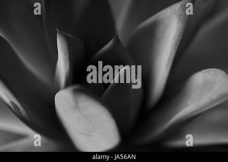 Texture di sfondo o, molto colorato succulente nella fotografia macro , immagine in bianco e nero Foto Stock