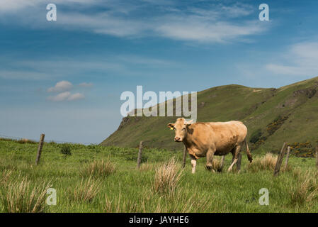 Un pascolo scotish bull sull'erba verde vicino alle montagne in estate Foto Stock
