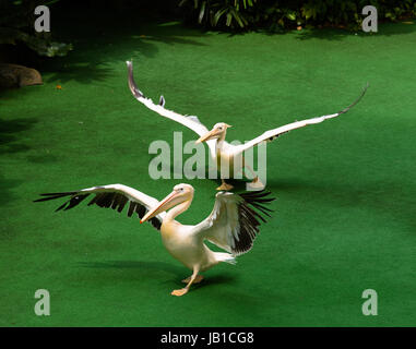 Due pellicani lembo le loro ali e camminare contro un luminoso sfondo verde Foto Stock