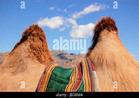 Guardando attraverso le gobbe di cammello Bactrian nelle steppe della Mongolia, vicino al deserto dei Gobi Foto Stock