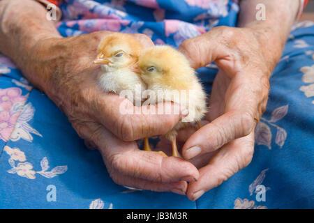 Vecchia contadina tenendo il pollo nelle sue mani spiegazzata Foto Stock