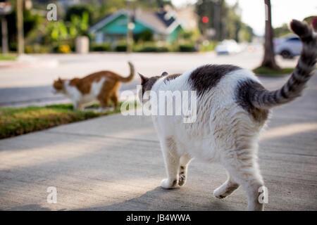 Due gatti domestici in una tranquilla area residenziale a camminare verso la strada, entrambi con le loro code in Foto Stock