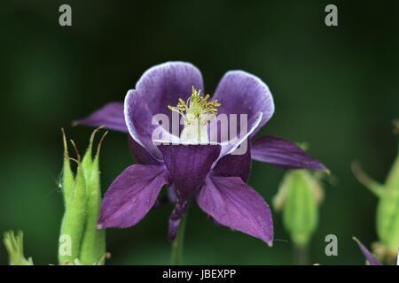Viola Aquilegia fiore, Aquilegia vulgaris, aquilegia comune o Grannys cofano mostra viola petali e sepali su un naturale sfondo verde scuro.