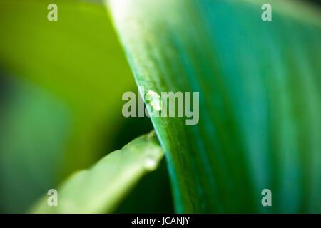 Ravvicinata di una goccia di rugiada su hosta foglia verde. Foto Stock