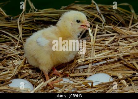 Chick in piedi nel nido sulle uova, Missouri, Stati Uniti d'America
