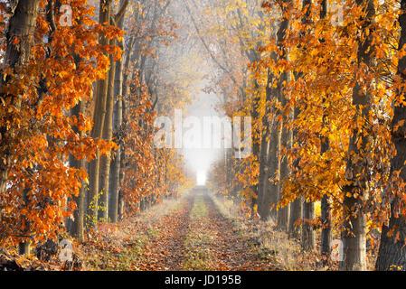 Una corsia con foglie cadute a terra delimitate da alberi in autunno colori che mostra grande prospettiva e terminando Foto Stock