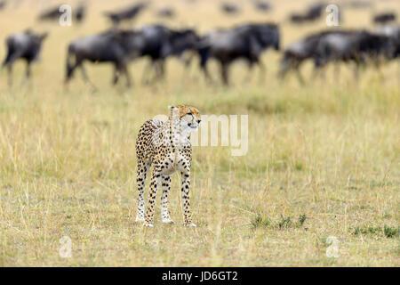 Wild african cheetah, splendido animale mammifero. Africa Kenya Foto Stock