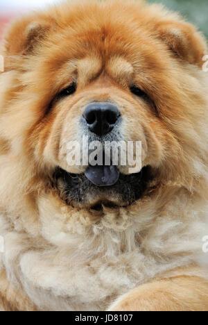 Close-up verticale di un cane Chow Chow Foto Stock