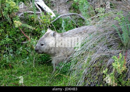 Wilson Promontorio di NP., Australia, Wilsons Promontory NP., Australien Australischer Nacktnasenwombat