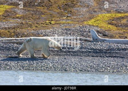 Un adulto di orso polare passeggiate lungo una spiaggia di ciottoli in Mushamna, Spitzbergen Foto Stock