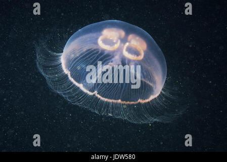 Luna medusa (Aurelia aurita) Foto Stock