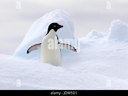 Adelie Penguin su ghiaccio floe nell'Oceano del Sud, 180 miglia a nord di East Antarctica, Antartide Foto Stock