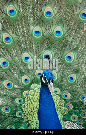 Peacock che mostra le piume. uccelli esotici piumaggio. wildlife pattern con gli occhi. Foto Stock
