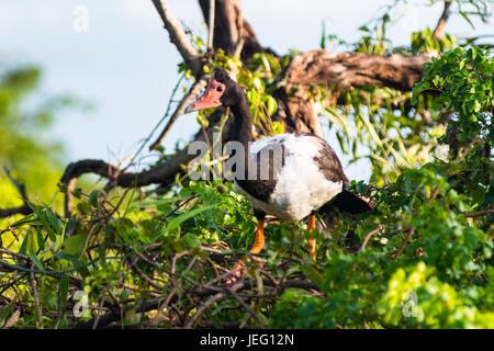 Gazza Oca (Anseranas semipalmata), acqua gialla Billabong, Parco Nazionale Kakadu, Territorio del Nord, l'Australia. Foto Stock