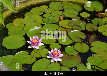 Giglio colore rosa gigli e pastiglie in gran laghetto in giardino Foto Stock