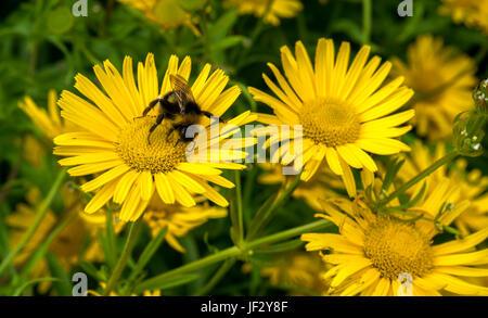 Primo piano di giallo bue occhio fiore Buftalmum salicifolium con foresta cucucucuculo bumblebee, Scozia, Regno Unito Foto Stock