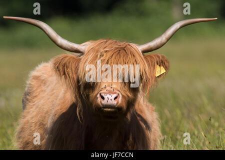 Colpo di testa di un altopiano di vacca (Bos taurus) Foto Stock