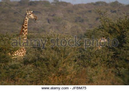 Una giraffa, testa sopra le cime degli alberi sulla steppa Masai. Foto Stock
