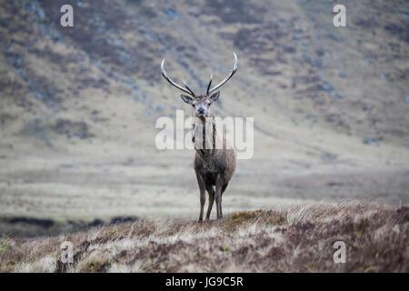 Solo il cervo (Cervus elaphus) in un paesaggio scozzese Foto Stock