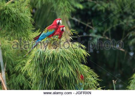Il rosso e il verde macaws nel Parco Nazionale del Manu. Foto Stock