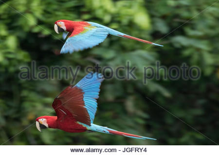 Il rosso e il verde macaws in volo nel Parco Nazionale del Manu. Foto Stock