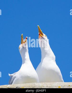 Due Gabbiani Uccelli squawking rumorosamente con big blue sky. Foto Stock