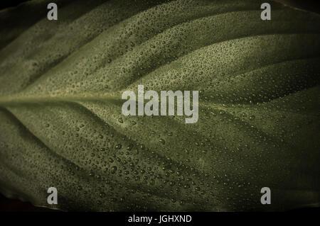 Close up (macro) fotografia di una foglia verde in saturazione bassa, ricoperto di sottili gocce d'acqua. Moody, Foto Stock