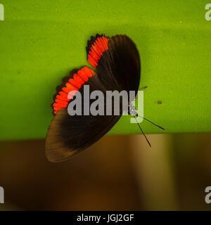 Cerchio rosso Butterfly Biblis hyperia su una foglia Foto Stock