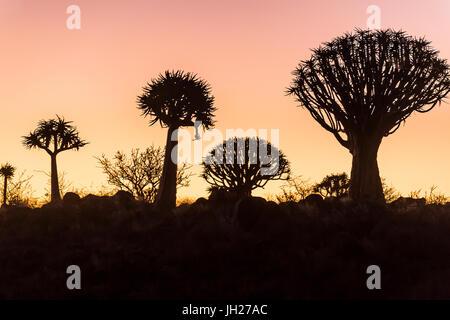 Per Quiver tree forest (Aloe dichotoma) al tramonto, Gariganus farm, Keetmanshoop, Namibia, Africa Foto Stock