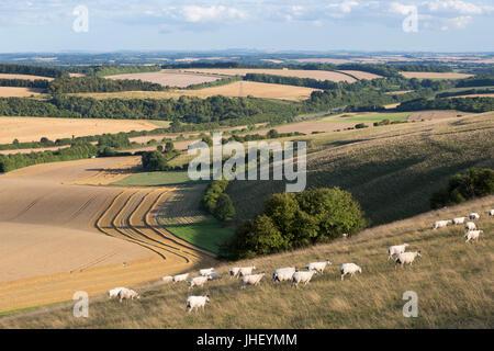 Vista su estate campi di grano e le pecore dalla sommità di Beacon Hill, vicino a Highclere, Hampshire, Inghilterra, Regno Unito, Europa Foto Stock