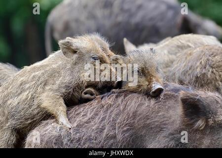 Piccoli cinghiali nel bosco in primavera Foto Stock