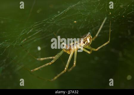 Piccola spider, una specie di Linyphia, in un web contro uno sfondo verde Foto Stock