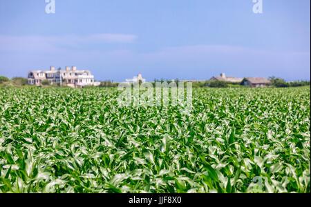 Grande casa estiva Sagaponack confinanti con un campo di grano in Sagaponack ny Foto Stock