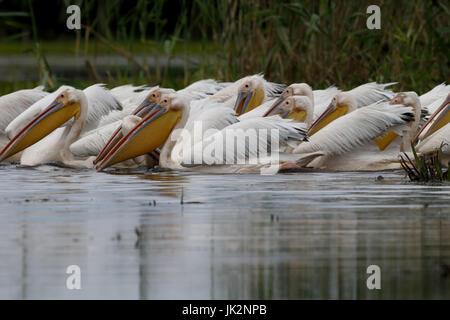 Grande bianco-pelican, Pelecanus onocrotalus, grande gregge su acqua di alimentazione, Romania, Luglio 2017 Foto Stock