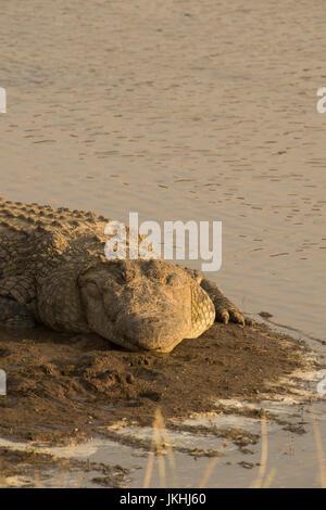 Grande maschio cile coccodrillo in appoggio sulla banca del fiume nel MASAI MARA IN KENYA Foto Stock