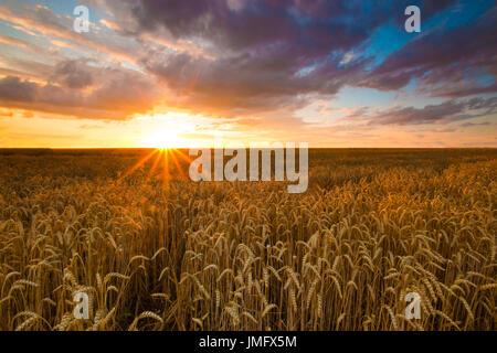 Colorato tramonto su campo di grano Foto Stock