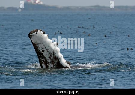 Humpback Whale pinna (Megaptera novaeangliae), all'interno del passaggio, British Columbia, Canada Foto Stock