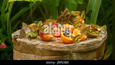 Vista panoramica del gruppo di svariate specie di farfalle topica avanzamento sul frutto su butterfly farm Foto Stock