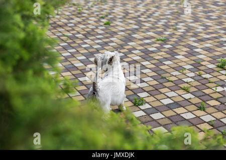 Westie cane sulla piastrella. West Highland White Terrier, comunemente noto come il Westie, una razza di cane dalla Scozia.