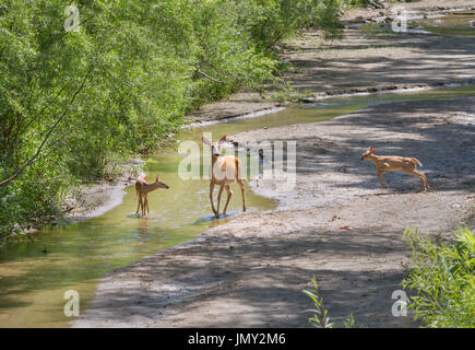 Doe di white-tailed deer con due cerbiatti Foto Stock
