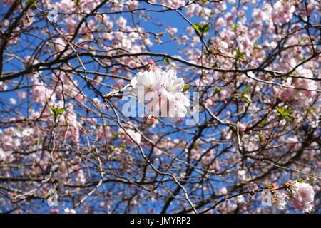 Close-up di rosa ciliegia giapponese Sakura blossom fiore cresce su brown a rami di alberi nel sole del pomeriggio con cielo blu chiaro. Foto Stock