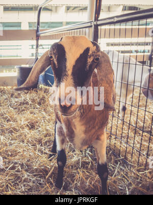 Lop-earred Capra in piedi a penna al country fair vintage in giardino Foto Stock