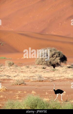 Struzzo a piedi nel deserto - Namib Naukluft Namibia Foto Stock