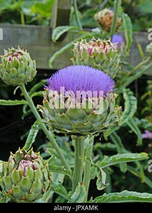 Globo di piante di carciofo ( Cynara scolymus ) fioritura in alta estate REGNO UNITO Foto Stock