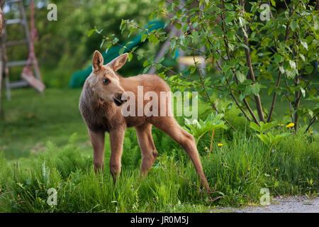 Un Alce polpaccio (Alces alces) sorge sull'erba di un cortile residenziale con un bambino nel suo scorrimento in Foto Stock
