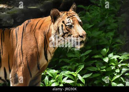 Tiger (Panthera tigris tigris) Foto Stock