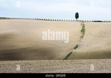 Un solitario cipressi si trova sulla parte superiore della grigio collina toscana con filari di vite Foto Stock