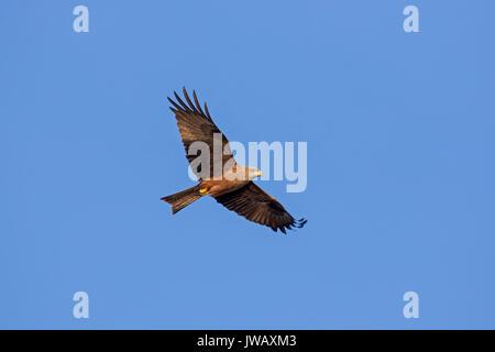 Nibbio bruno (Milvus migrans) in volo contro il cielo blu